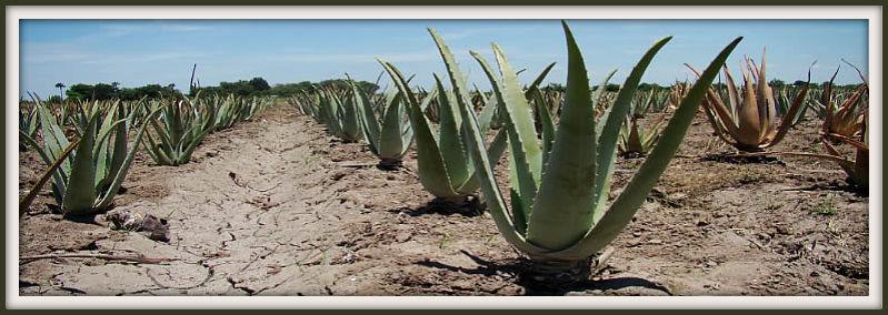 Aloe%20vera%20van%20kamerplant%20tot%20helende%20plant%20(1)